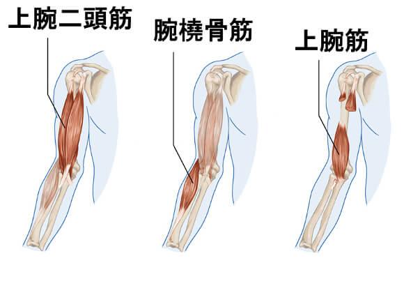 上腕二頭筋・上腕筋・腕橈骨筋