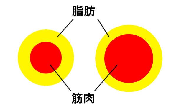 二の腕の筋肉と脂肪の図