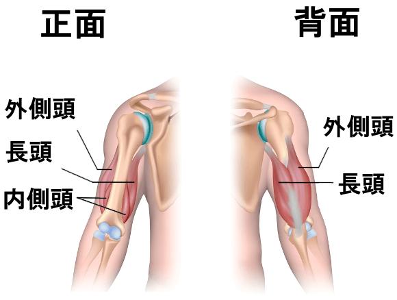 上腕三頭筋の構造