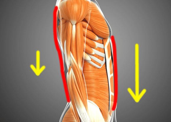 腹筋と脊柱起立筋の働き