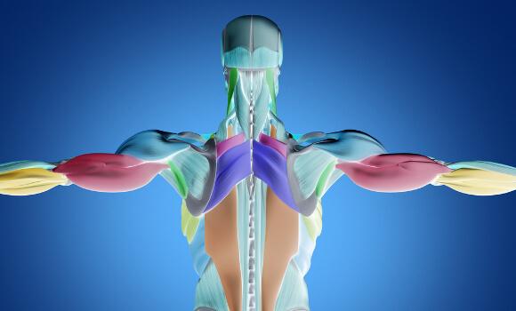 器官ごとの基礎代謝量