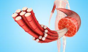 筋肉と筋繊維